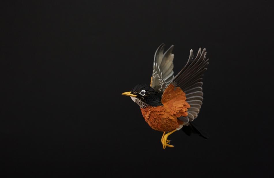 American Robin by Diana Beltran Herrera