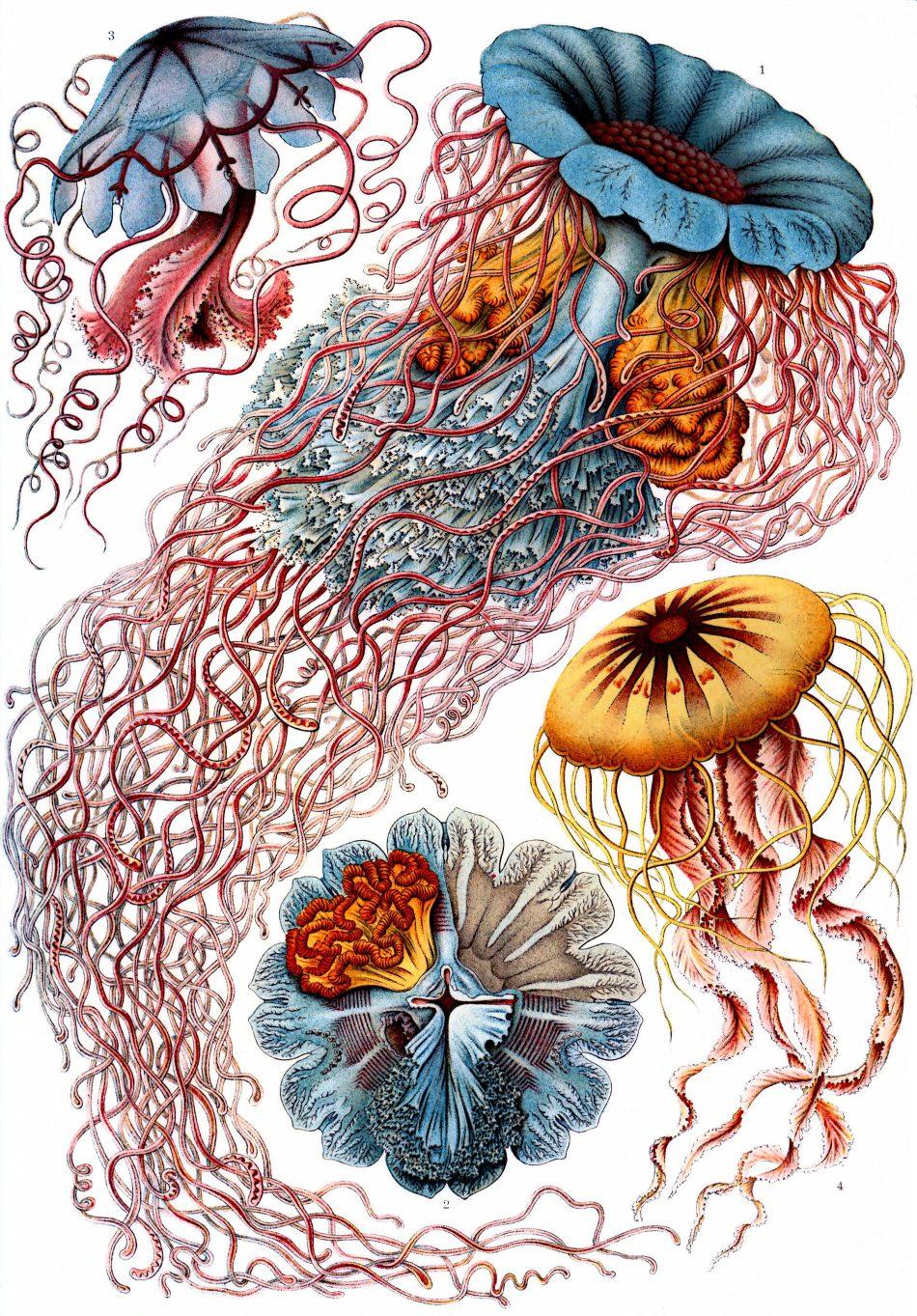 Haeckel_Discomedusae_8