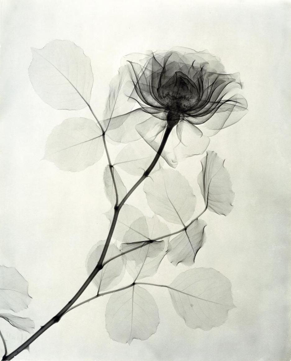 A Rose by Dr. Dain L. Tasker